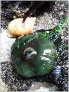 Bright green Beadlet Anemone Actinia equina