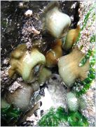 Pale coloured sea anemones of the Actinia genus at Burry Holms
