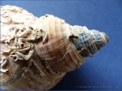 Empty Common Whelk shell with calcareous tubes attached