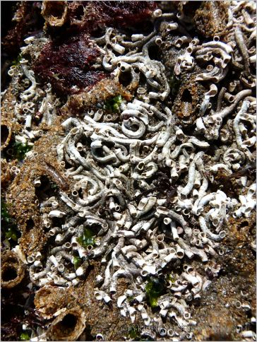 Calcareous and sandgrain tubes of marine worms on rocks at low tide