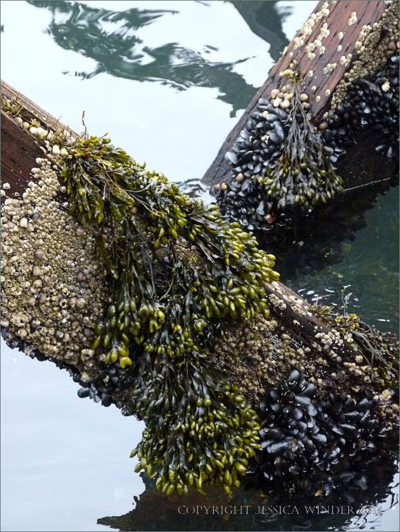 Barnacles with spiral wrack in a distict band above mussels on an old pier post