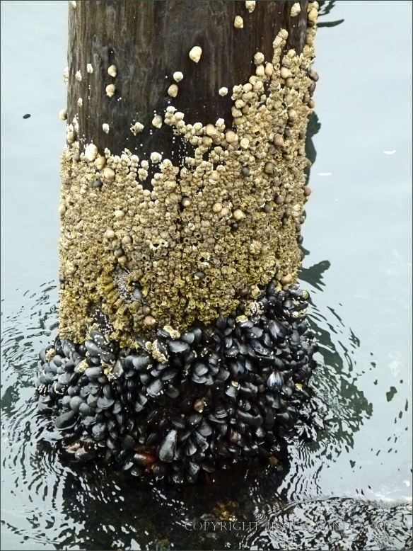 Barnacles and mussels above the waterline on a wooden pier piling.