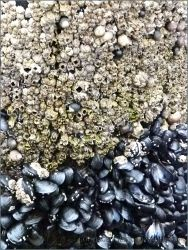 Detail of barnacles occupying a distinct band above mussels on a wooden pier pile