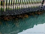 Zonation of marine organisms on the waterline of a wooden pier structure
