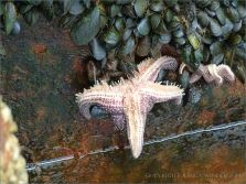 Starfish eating mussels on a rusty metal wharf revetment