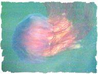 Lion's Mane Jellyfish (Cyanea capillata)