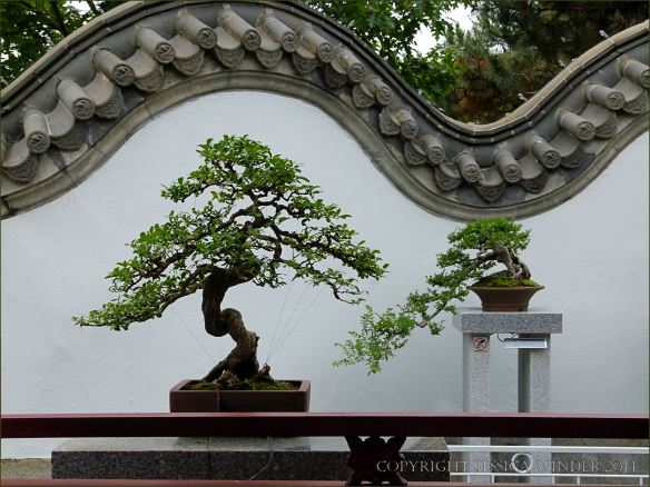 Bonsai in the Chinese Garden at Jardin Botanique de Montreal