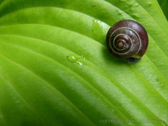 Snail on a Hosta leaf in the Chinese Garden