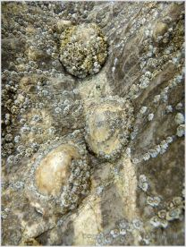 Barnacle-encrusted limpets clinging to High Tor Limestone at Burry Holms