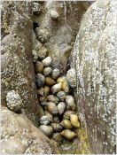 Cluster of dog whelks sheltering in an eroded groove in the limestone on the east side of Burry Holms