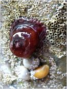 Bright red Beadlet Anemone (Actinia equina) with dog whelks (Nucella lapillus) and barnacles
