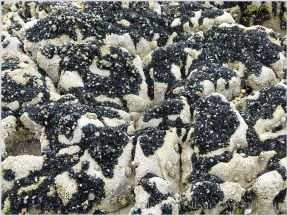 Pattern of dark mussels and light barnacles on bio-karstic High Tor limestone rocks