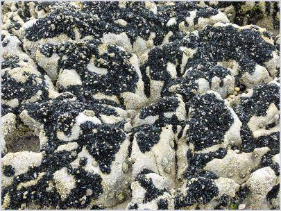 Pattern of dark mussels and light barnacles on bio-karstic High Tor limestone rocks