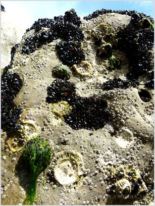 Seashore creatures clinging to eroded limestone rocks at Burry Holms
