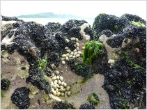 Mussels, barnacles, and dog whelks on eroded limestone at Burry Holms