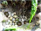 Sea anemones and dog whelks in a rocky hollow at Burry Holms