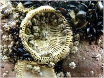 Large calcareous basal plate of a Perforatus Barnacle that has been knocked off the rock, with newly-settled barnacles of a smaller species