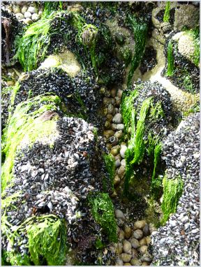 Small seashore creatures encrusting the eroded limestone of Burry Holms