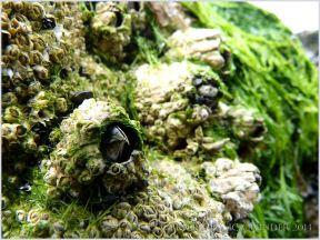 The stout curved beak-like opercula plates of a living Balanus perforatus barnacle on rocks at Burry Holms