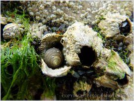 Common periwinkle (Littorina littorea) sheltering in an empty Balanus perforatus barnacle shell