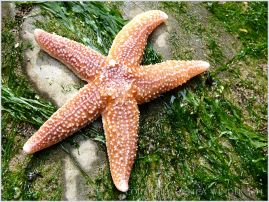 Common Starfish (Asterias rubens) dorsal surface