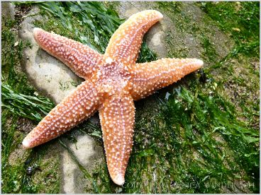 Common Starfish (Asterias rubens) dorsal surface