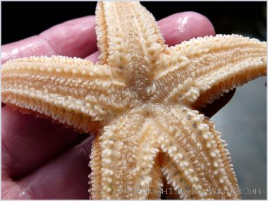 Common Starfish (Asterias rubens) ventral surface