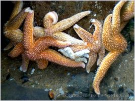 Congregation of Common Starfish Asterias rubens in a rock pool at Burry Holms