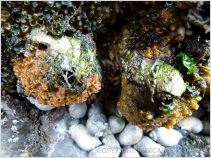 Bright orange sponges with dog whelks in a damp rock cleft
