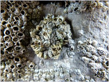 Limpet shell completely covered by acorn barnacles.