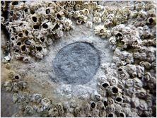 """The shallow circular depression of a limpet """"home-base""""."""