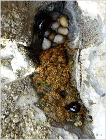 Sponge, sea anemones and dog whelks in a mini rock pool on the island of Burry Holms