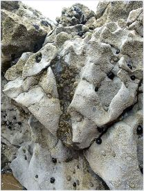 Seashore creatures on eroded limestone at Burry Holms