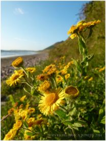 Flowering Golden samphire or Inula crithmoides at Rhossili Beach