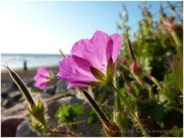 Geranium sanguineum - Bloody Cranesbill on Rhossil Beach