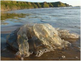 Large stranded jellyfish brought in by the tide