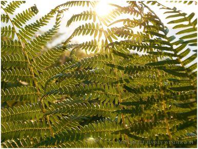 Evening sun shining through bracken fronds