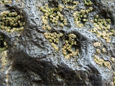 Small pittings on larger pittings with barnacles on rock