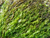 Bright green soft seaweed closeup
