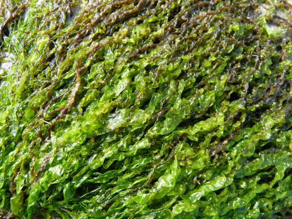 Bright green soft seaweed closeup