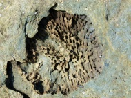 Silurian coral fossil