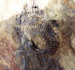 Silurian brachiopod fossil