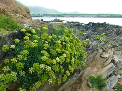 View of flowers on rocks at Ferriters Cove