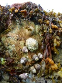 Silurian rocks with limpets and thick top shells