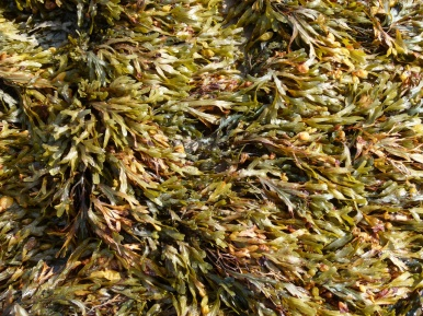 Seaweed on the beach at Smerwick Harbour