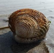 Very old, thick, ridged bivalve seashell