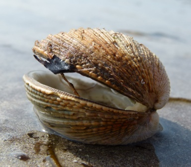 Bivalve seashell on the beach