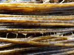 Sea Noodle seaweed closeup
