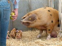 Oxford Sandy and Black sow with piglets at Dorset County Show