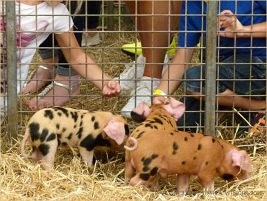 Oxford Sandy & Black piglets at Dorset County Show
